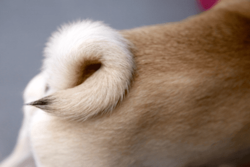 Foto da cauda de um pug