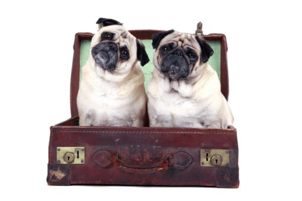 Pug no Brasil: pugs em uma mala