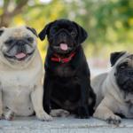 Cores de pug: foto com três pugs