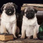 Pugs em meio à livros e objetos antigos