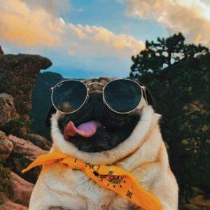 Pug com oculos escuros