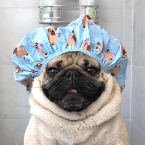Pug com touca de banho