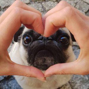 Pug e um coração