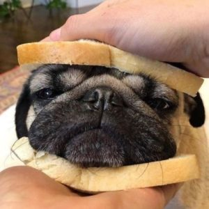 Sanduiche de pug