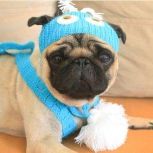 Pug com touquinha azul