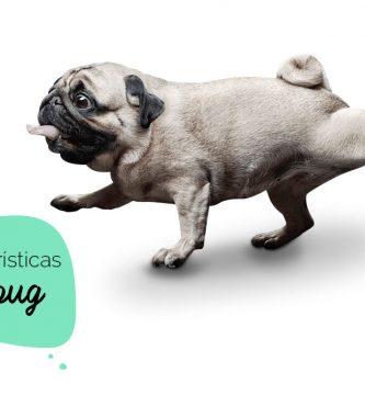 Características do pug: cachorro da raça pug