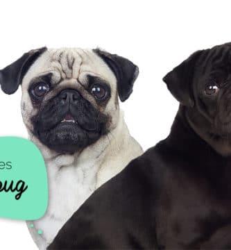 Cores de pug: foto com dois pugs