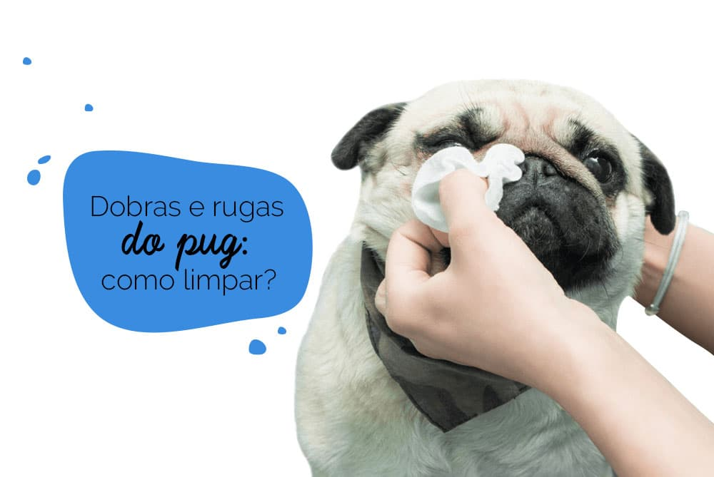Como limpar as dobras do pug: cão sendo higienizado