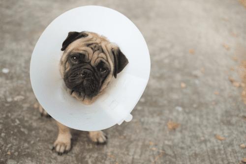 Pug usando um colar elisabetano