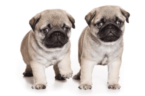Dois pugs filhotes