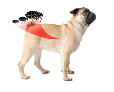 alergia em pug causada por pulgas