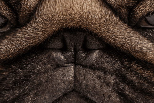close do focinho do pug