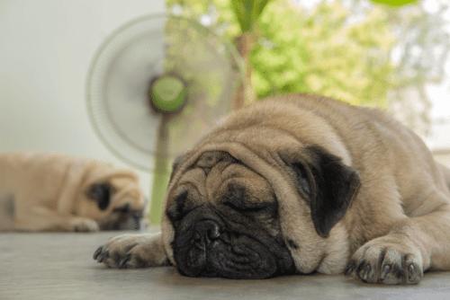 pug deitado na frente do ventilador