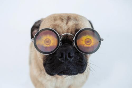 cuidados com pug: pug com óculos