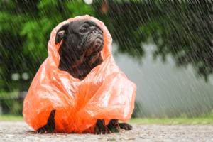 Pug com capa de chuva