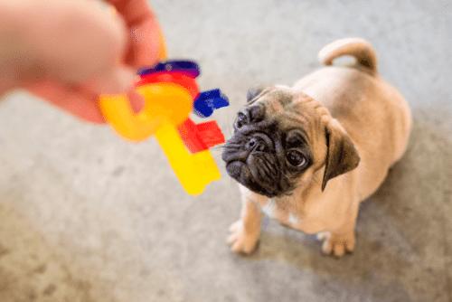 Pug com brinquedo