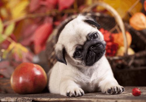 Pug filhote com expressão confusa