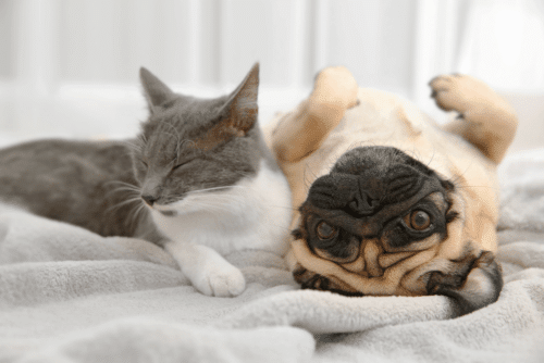 Pug com gato