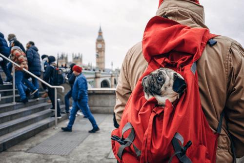 Pug dentro de uma mochila em Londres