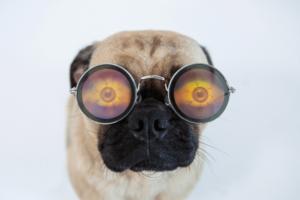 Pug com óculos