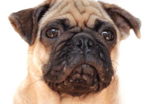Acne-canina-pug