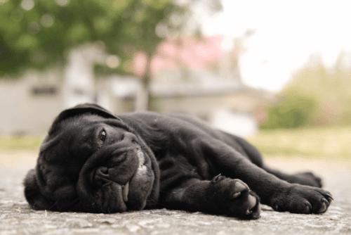 Pug deitado com expressão de cansaço