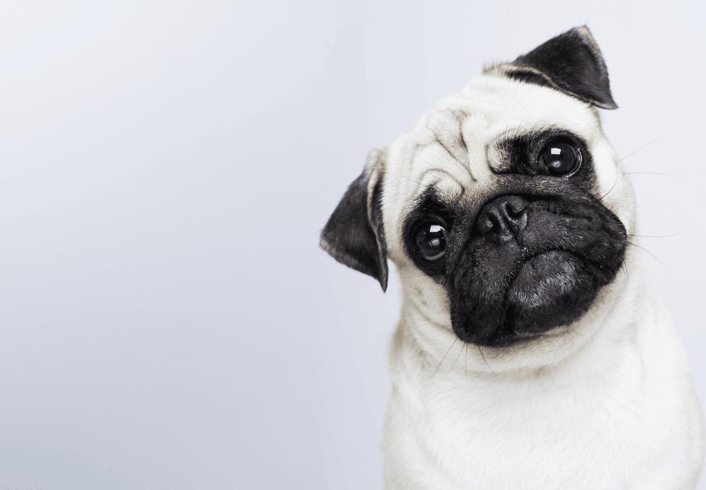 Pug solta muito pelo: dúvida