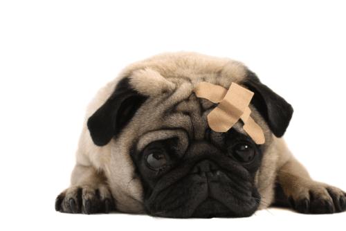 Pug com um bandaid