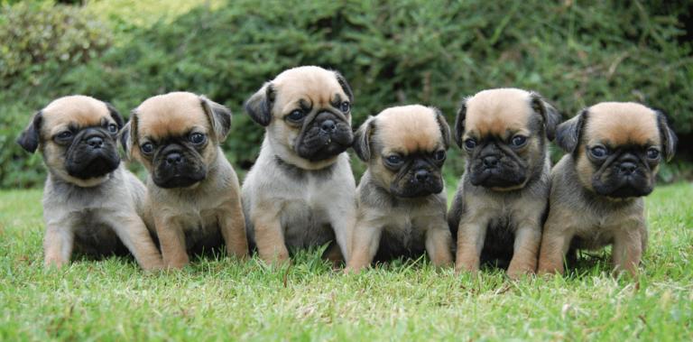 Filhotes de pug em um gramado
