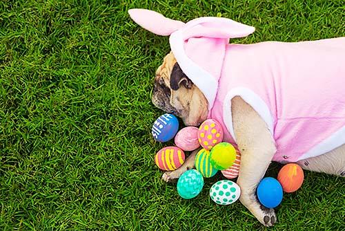 Chocolate faz mal para cachorro: Pug abraçando ovos de pascoa