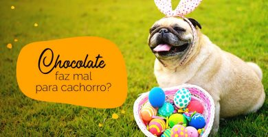Chocolate faz mal para cachorro: pug com ovos de páscoa