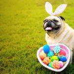 Chocolate faz mal para cachorro: pug com ovos