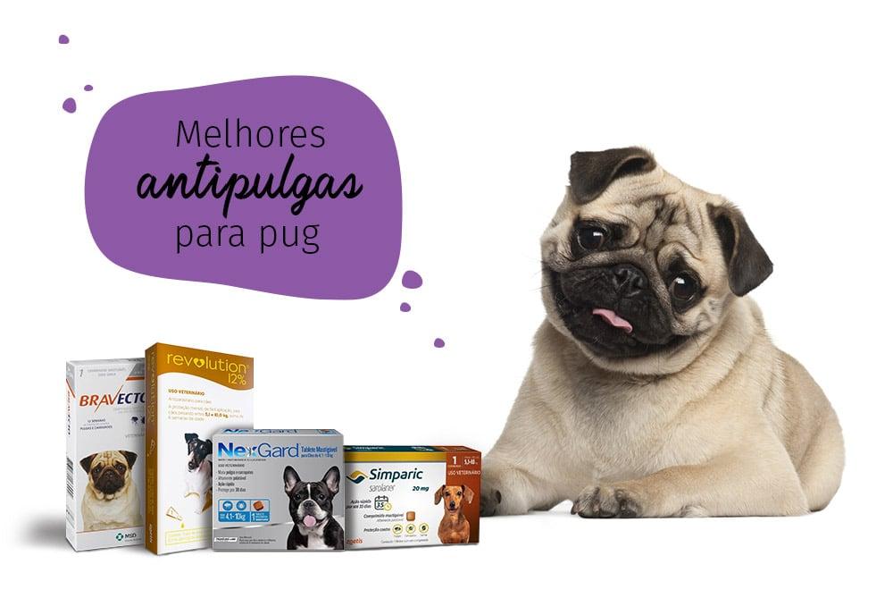 como acabar com as pulgas: pug com medicamentos antipulgas