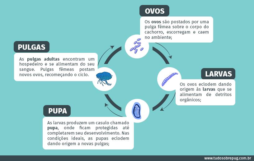 Infográfico do ciclo da pulga
