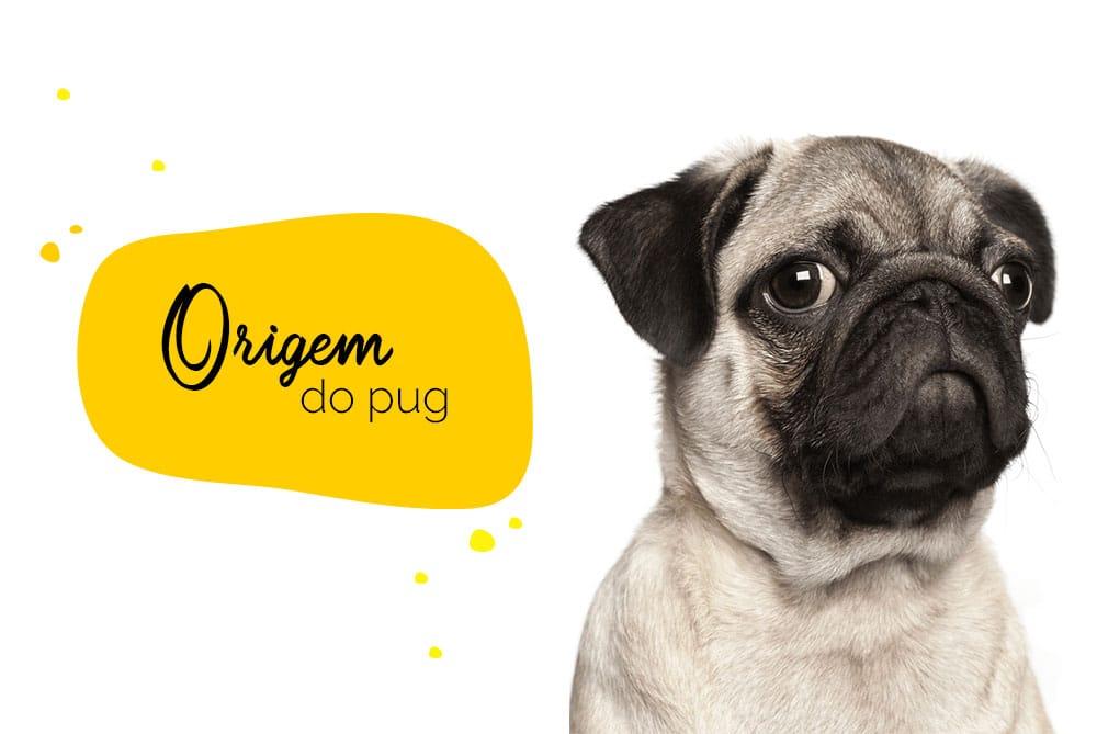 origem do pug: close de um pug