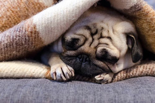 Pug dormindo debaixo das cobertas