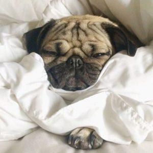 Pug filhote enrolado em um lençol