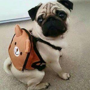Filhote de pug com uma mochilinha