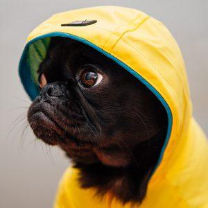Filhote de pug preto com jaqueta amarela