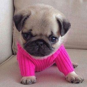 Filhote de pug com sueter rosa