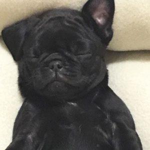 Filhote de pug preto dormindo