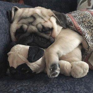 Pug filhote dormindo com uma pelúcia