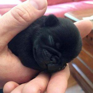 Filhote de pug preto na mão de uma pessoa