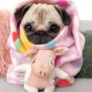 Filhote de pug enrolado no cobertor