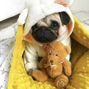 Filhote de pug com pijama de capuz e urso de pelúcia