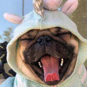 Filhote de pug com pijama bocejando