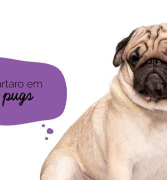 Tártaro em cães: Pug sentado com cara de triste