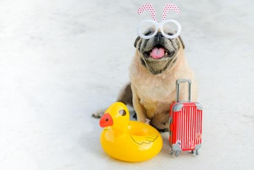 Pug pronto para viajar