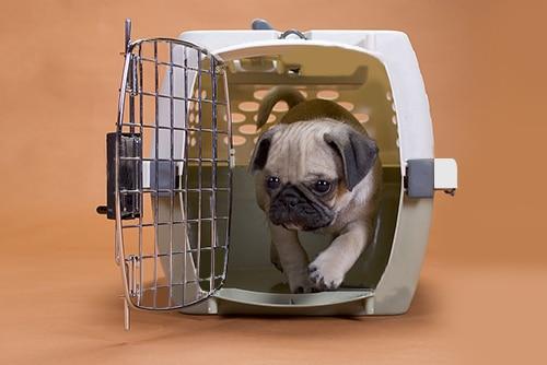 Viajar com cachorro: pug em uma caixa de transporte
