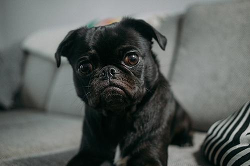 Pug preto sentado no sofá